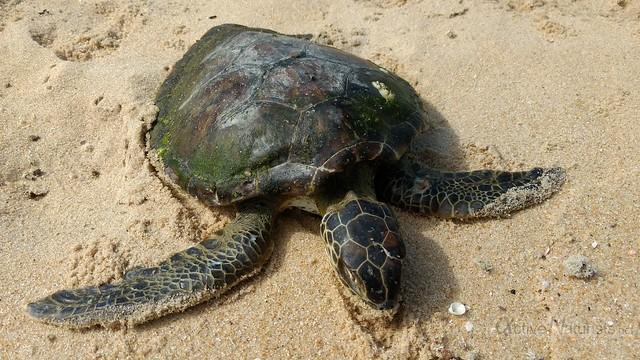 turtle at the beach 0005 praia Brava de Trinidade, Rio de Janeiro, Brasil