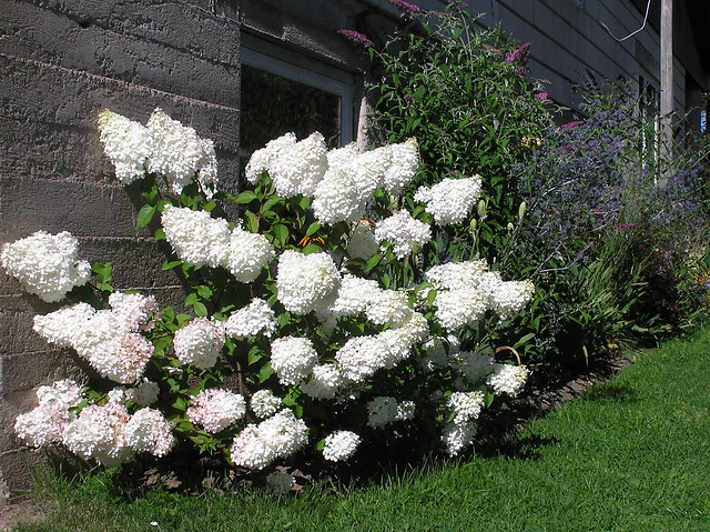 Hydrangea paniculata 'Wanille Fraise'
