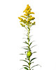 Late Goldenrod, Solidago gigantea by snapify