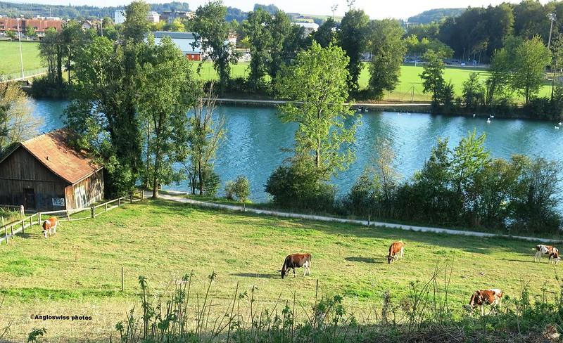 Cows by the Rvier Aar