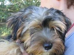 dog breed, animal, dog, schnoodle, pet, polish lowland sheepdog, tibetan terrier, australian silky terrier, norfolk terrier, glen of imaal terrier, vulnerable native breeds, havanese, lhasa apso, morkie, catalan sheepdog, sapsali, cairn terrier, irish soft-coated wheaten terrier, australian terrier, carnivoran, terrier,