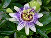 Passion Flower by Richard Bradshaw1