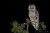 Bufo-pequeno | Asio otus | Long-eared Owl by JosBar