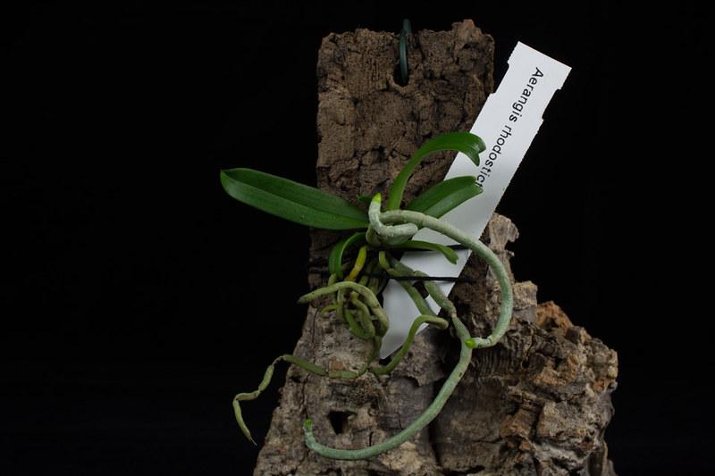 Aerangis luteo-alba var. rhodosticta 20795461861_191b40d8b3_c