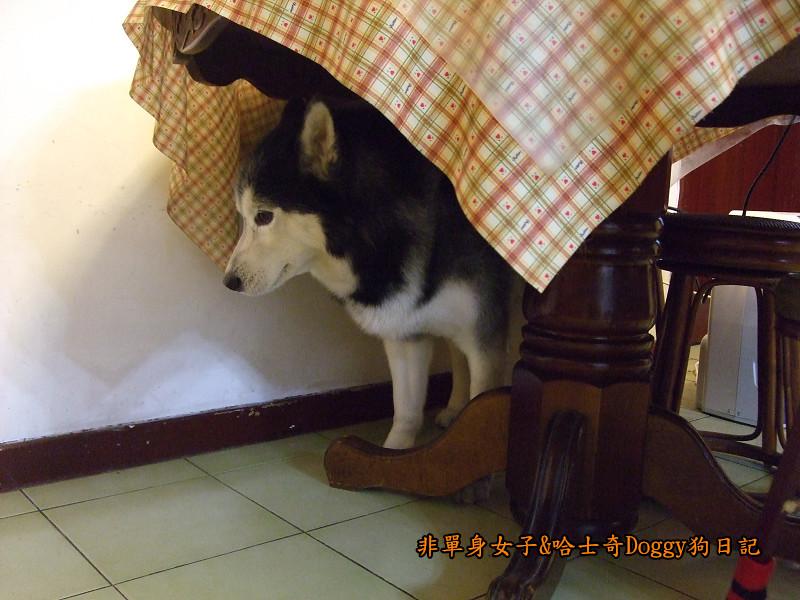 2011哈士奇doggy做壞事09