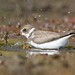 Semipalmated Plover by frank1556