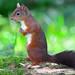 Red Squirrel by billoddie3