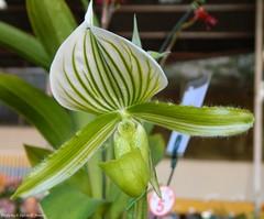 Paphiopedilum Maldiae 'Albino'