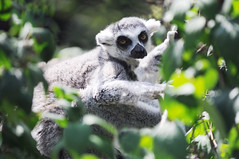 animal, branch, mammal, fauna, lemur, wildlife,