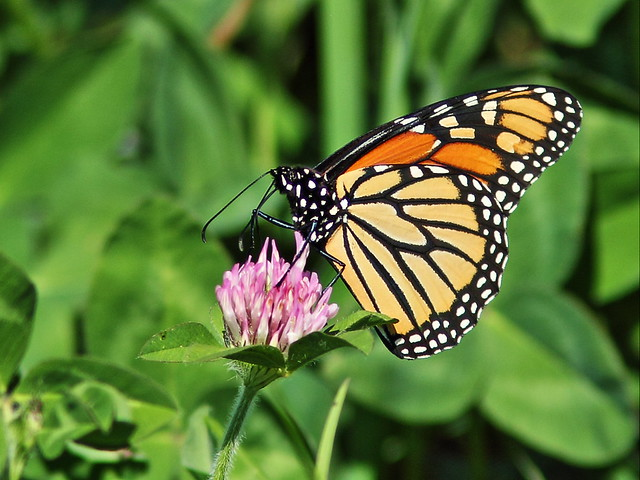 Monarch butterfly 20150926