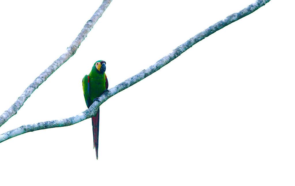 Parrot_34