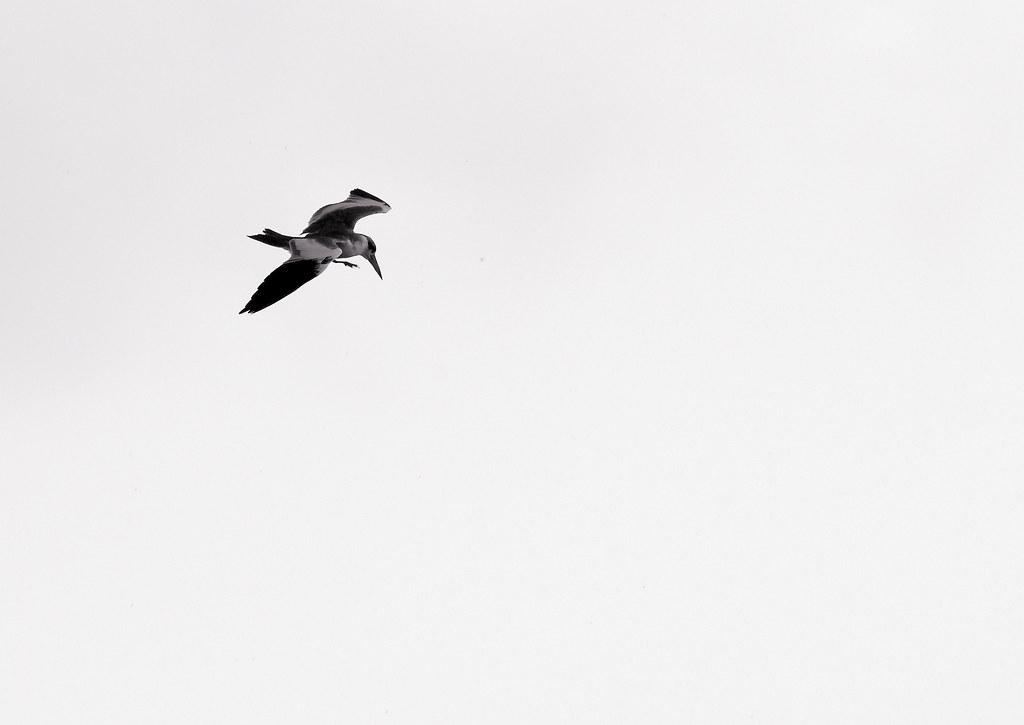 Tern_20