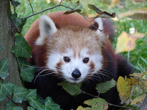 Roter Panda Zoo Karlsruhe