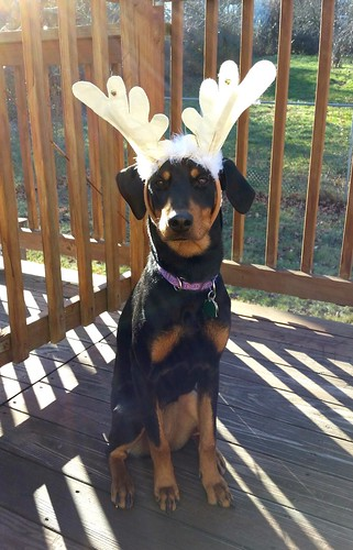 9 month old Doberman mix puppy  - Lapdog Creations