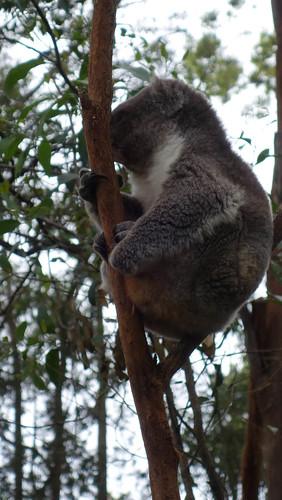 Koala Krankenhaus