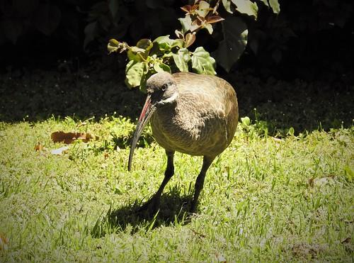hadada ibis bostrychia hagedash bird kenya njoro