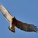 Red Shouldered Hawk by royz2014