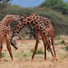 The Battle - Necking Giraffes - 8489b+ by Teagden (Jen Hall)