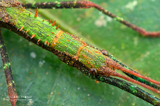 Stick insect (Phasmatodea) - DSC_4434