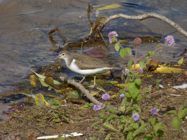 Common Sandpiper 4