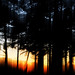 Sunset - pine forest by David_West Photography