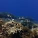 Breams, Anchor Reef, Gozo