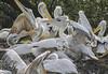 Blijdorp pelikanen