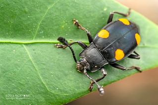 Handsome fungus beetle (Eumorphus quadriguttatus) - DSC_6213