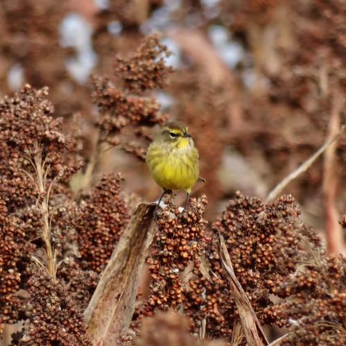 bird fall virginia warbler