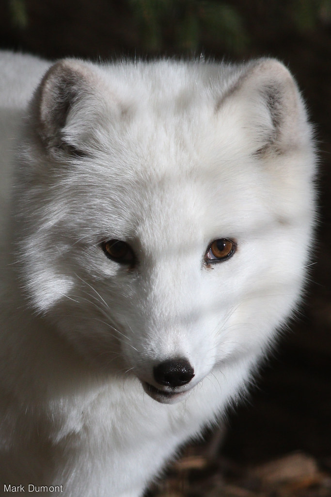 Columbus Zoo - Arctic Fox