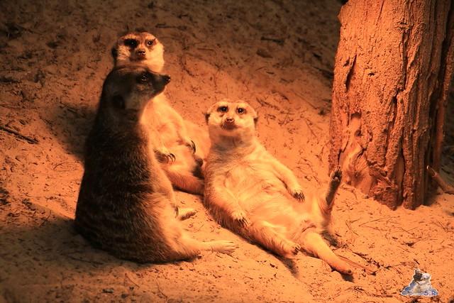 Eisbär Fiete im Zoo Rostock 05.12.2015  166