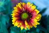 Polychromatic - Quinta Flower