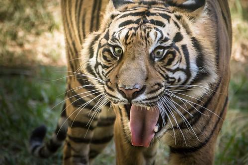 Intense Tiger [Explored]