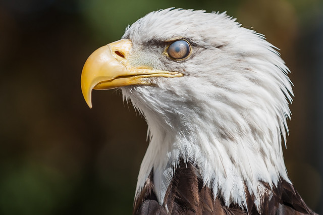 Bald Eagle - nictitating membrane covering eye