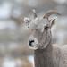 Bighorn Ewe in Falling Snow - 0060b+
