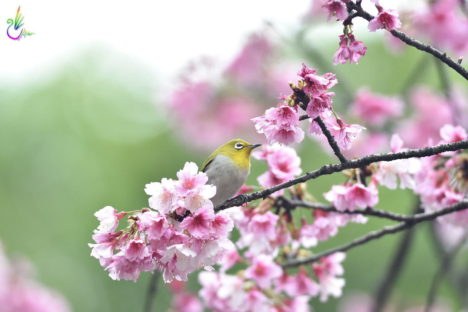 Sakura_White-eye_5030