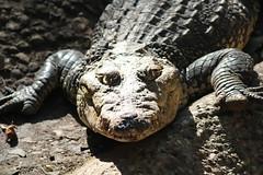 Villahermosa, Parque-Museo La Venta zoo, crocodile