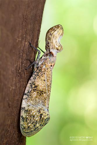 Peanut lantern bug (Fulgora sp.) - DSC_7487