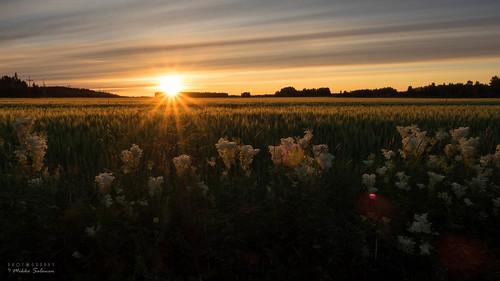 sunset field finland pohjanmaa nivala ylivieska rauduskylä northernostrobothnia