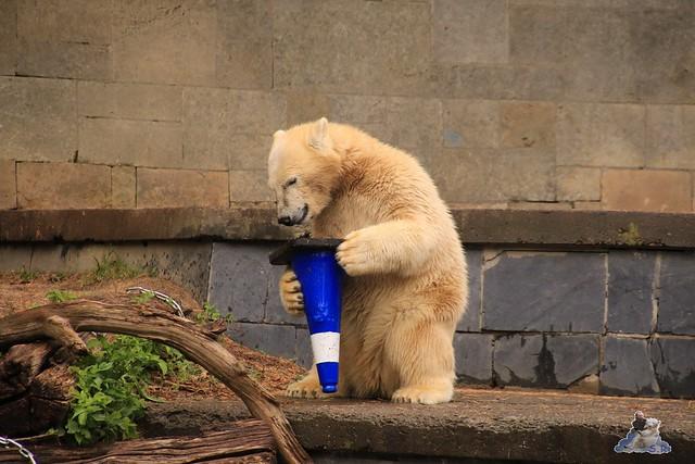 Eisbär Fiete im Zoo Rostock 06.09.2015  035