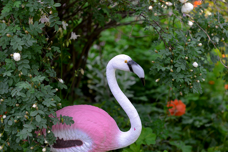 A Flamingo is living in our garden