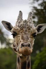Giraffa camelopardalis DT [NZ Auckland Zoo] (6)