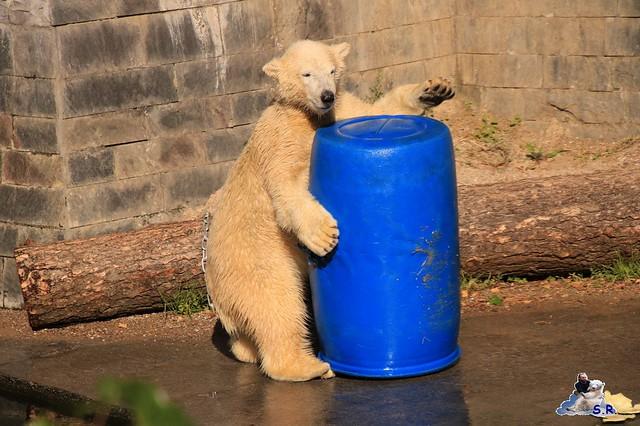 Eisbär Fiete im Zoo Rostock 26.09.2015   0255
