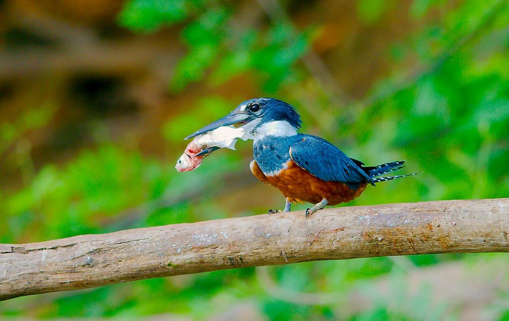 Kingfisher_29