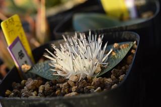 DSC_1602 Massonia Pygmaea SE Leliefontein マッソニア ピグマエア