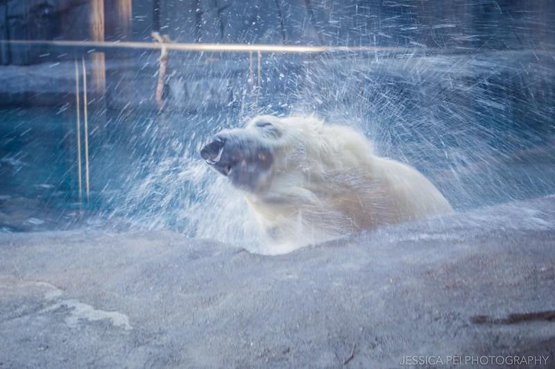 St. Louis Zoo Polar Bear