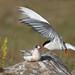 Arctic Tern (Kría) Sterna paradisaea by Bjarni in Iceland