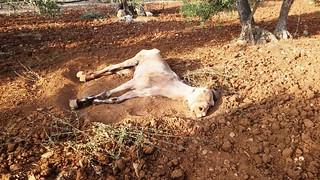Rutigliano- Cavallo in fin di vita in campagna (2)