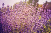 Enchanting Lavender by StrangeCharmDesign