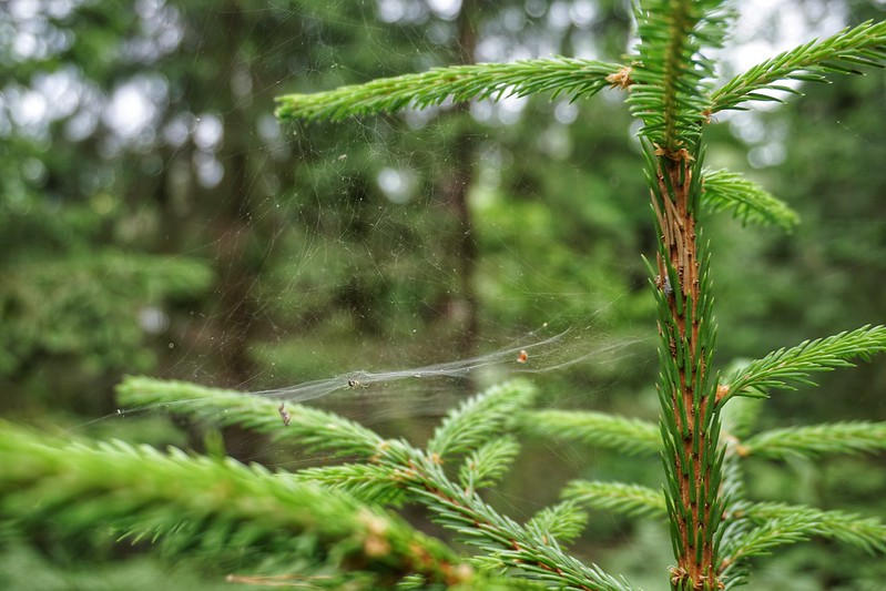 Fir tree cobwebs in Latvia